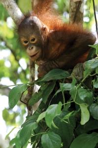 Orangutan sml